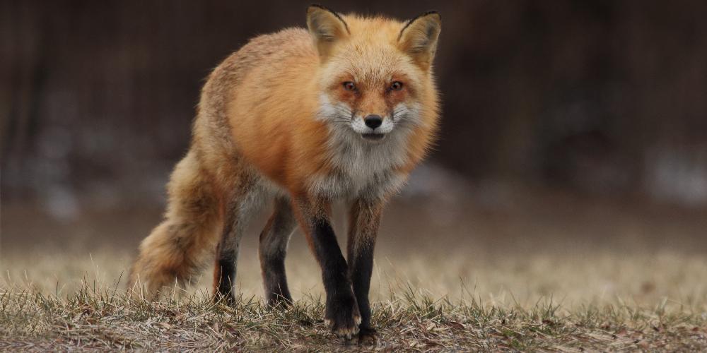 Red Fox Scotland